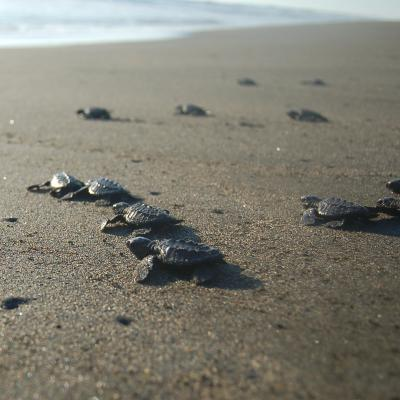 Baby turtles on the beach on their way into the ocean at our project for turtle Conservation in Mexico